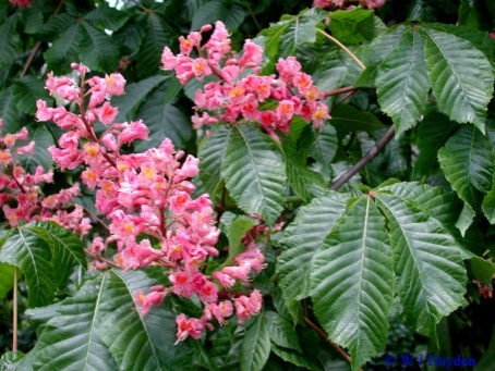 http://leafland.co.nz/wp-content/uploads/2015/10/Aesculus-carnea-Pink-Horse-Chestnut.jpg.jpg